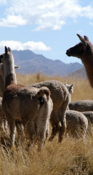 Alpacas-300x564